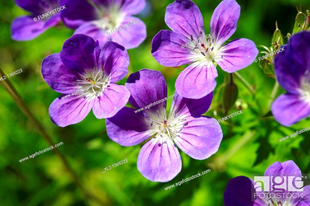 Stock Photo: Alpine Wood Cranesbill  geranium sylvaticum   Bernese Alps, Switzerland.