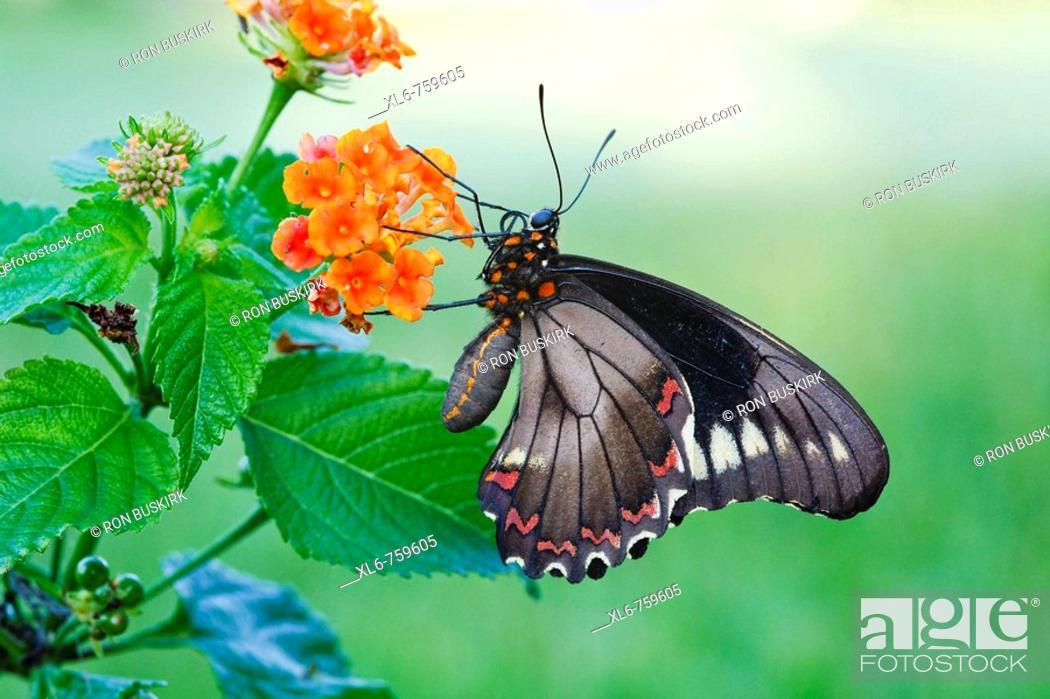 Stock Photo: Battus Polydamas feeding on nectar of orange Lantana plant.