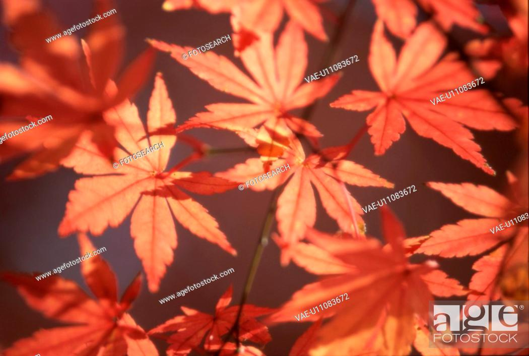 Stock Photo: Leafy Maple Tree Branch.