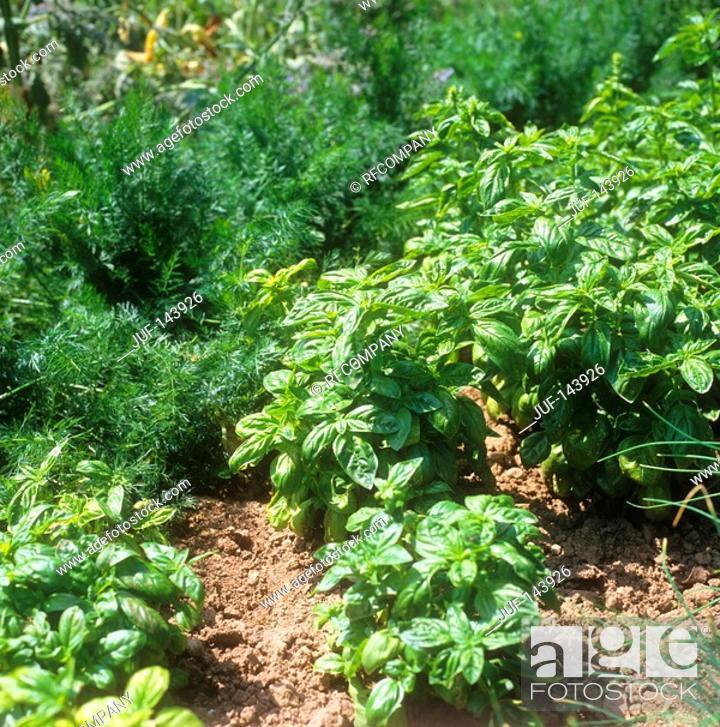 Stock Photo: basil / Ocimum basilicum.