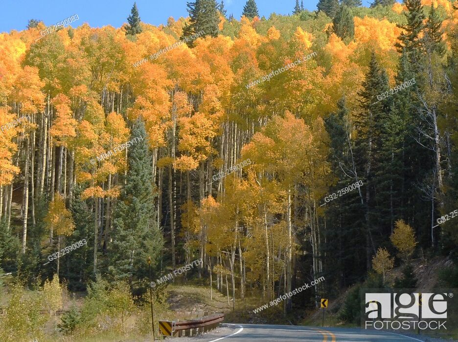 Stock Photo: Aspen trees turn golden in autumn, New Mexico, USA.