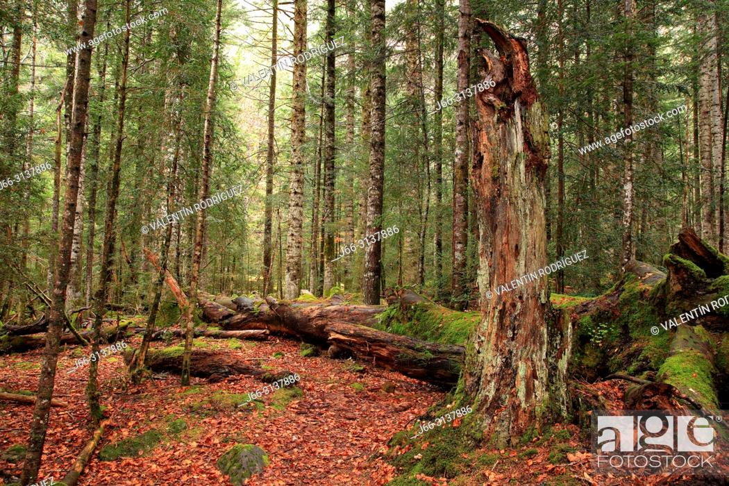 Stock Photo: Beech and fir forest in the Ordesa valley. Ordesa y Monte Perdido national park. Huesca.