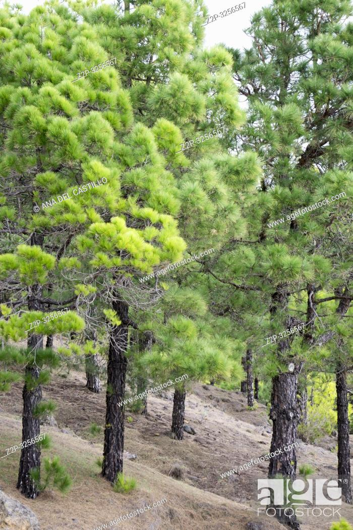 Stock Photo: Canary pine forest El Hierro Canary islands Spain.