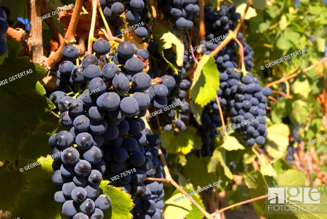 Stock Photo: Vineyard grapes, Yakima County, Washington, USA.