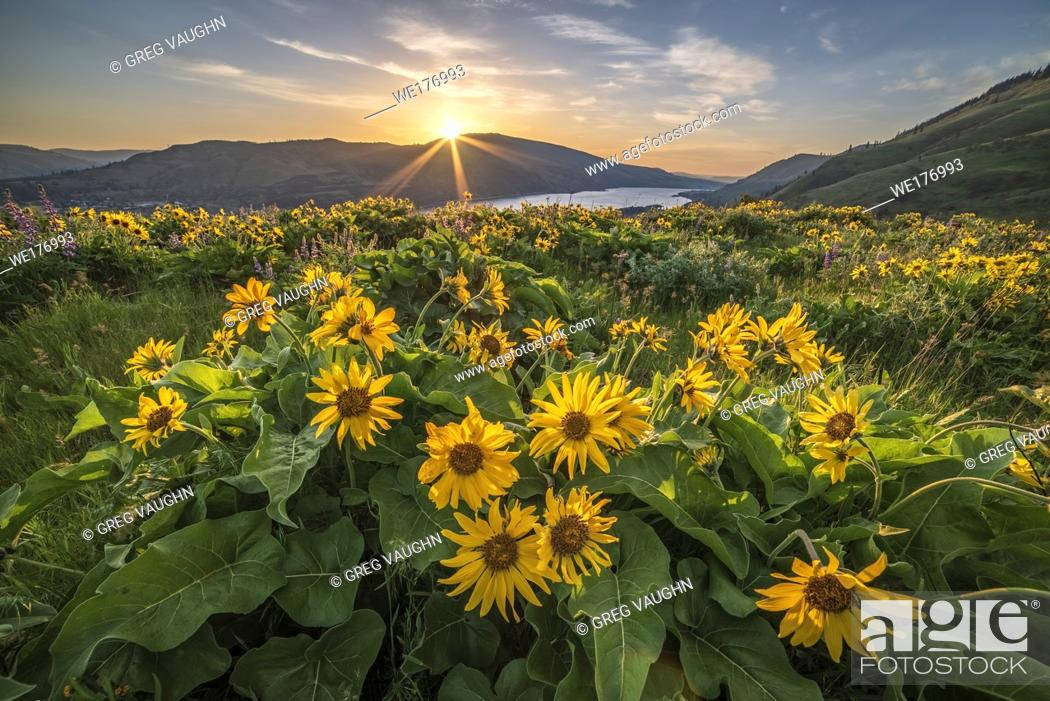Stock Photo: Balsamroot at The Nature Conservancy's Tom McCall Preserve overlooking the Columbia River Gorge in Oregon.