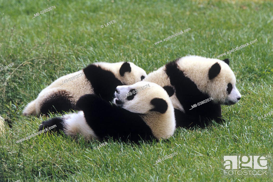 Stock Photo: Big panda, Ailuropoda melanoleuca,  Young, meadow, lie  Wildlife, wild animal, animals, mammals, carnivores, bamboo bears, three, foully, resting, relaxing.