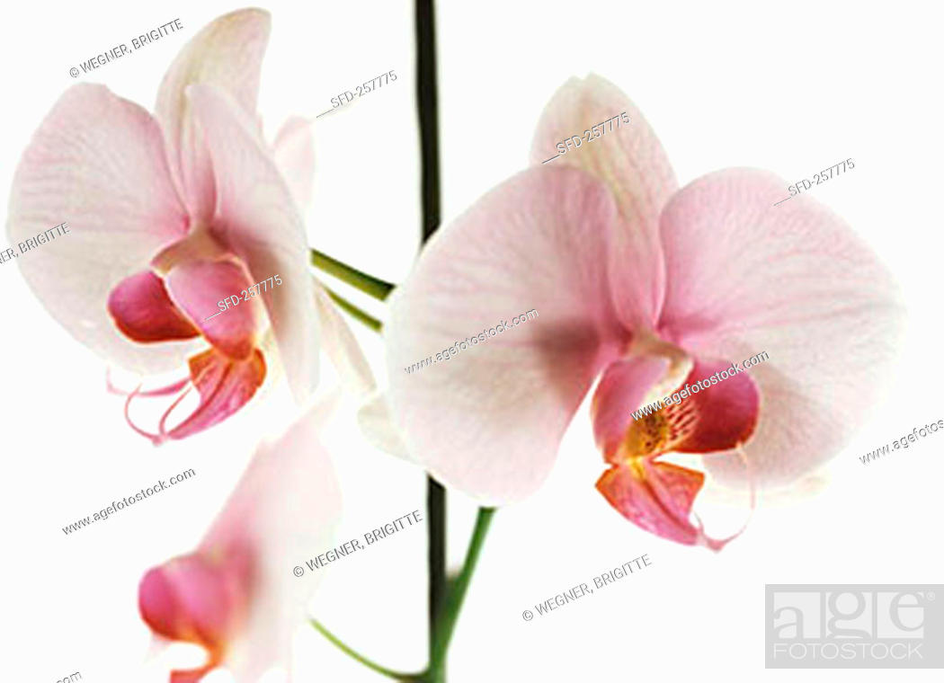 Stock Photo: Pink and white orchid (Phalaenopsis).