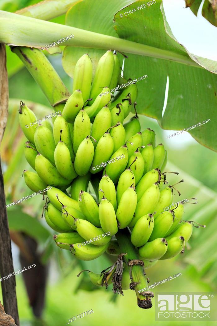 Stock Photo: Banana trees, Kuching, Sarawak, Malaysia.