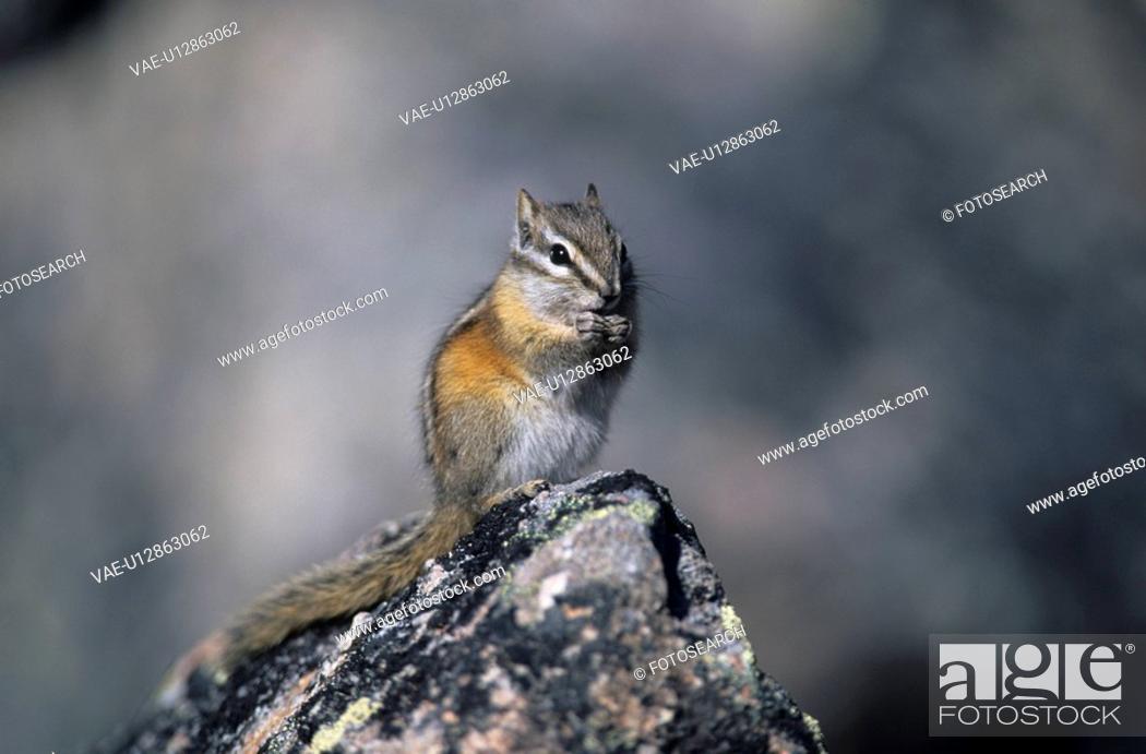 Stock Photo: hoernchen, alberta, animal, animals, backenhoernchen, Canada, chipmunk.