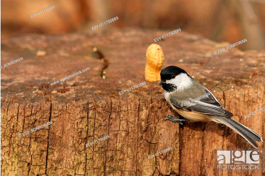 Stock Photo: Black-capped Chickadee.