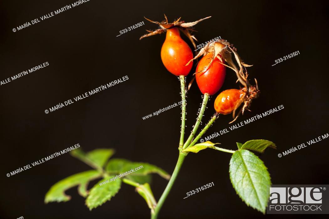 Stock Photo: Wild rose berries in Avila. Spain.