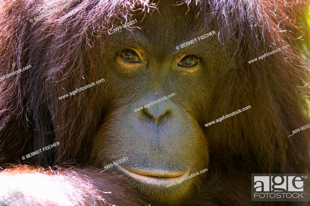 Stock Photo: Orang Utan Pongo pygmaeus Sepilok Sabah Borneo Malaysia.
