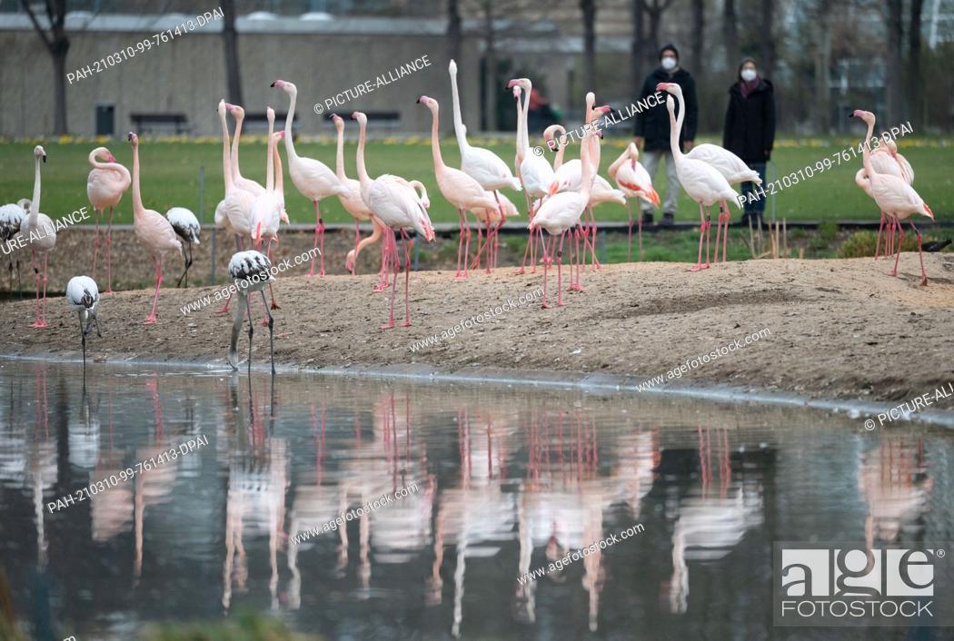 Stock Photo: 10 March 2021, Baden-Wuerttemberg, Stuttgart: Rosaflamigos stand in their enclosure at Wilhelma Zoological-Botanical Garden.