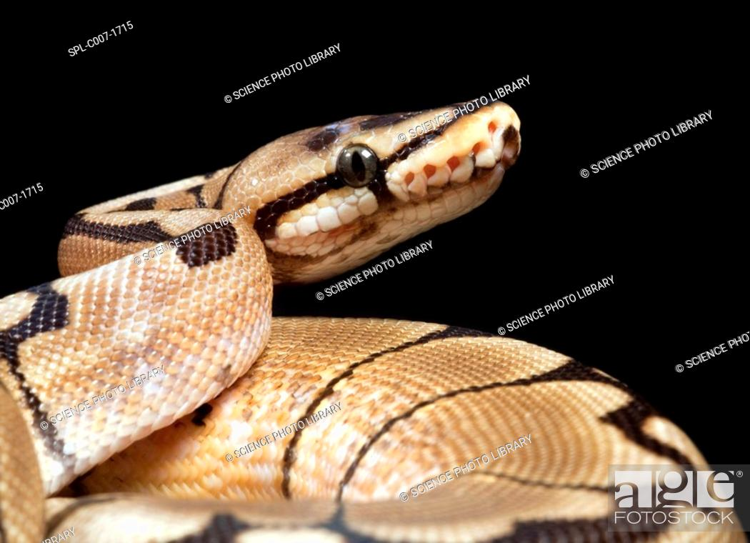 Stock Photo: Pastel variant royal python. Close-up of the head of a pastel royal python Python regius  showing the sensory pits upper centre above its mouth.