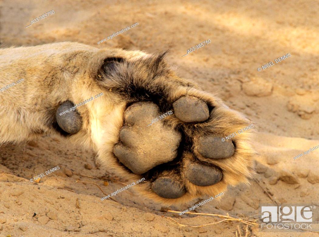 Stock Photo: Lion (Panthera leo), detail of paw. Kgalagadi Transfrontier Park. Kalahari, South Africa.