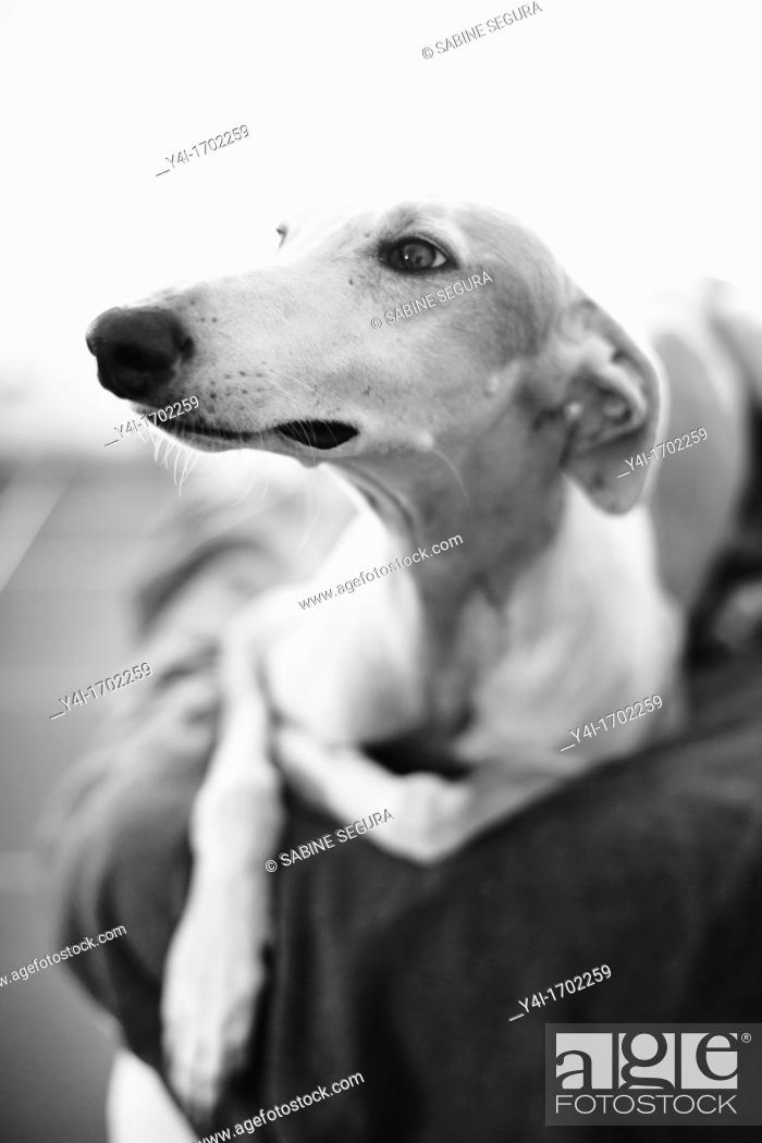 Stock Photo: Rescued spanish greyhound happy in his new home.