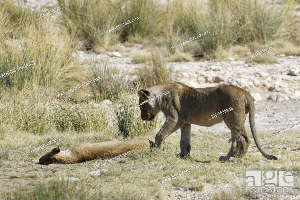 Stock Photo: African lions (Panthera leo), young male standing next to a young lying female half asleep at the waterhole, Etosha National Park, Namibia, Africa.
