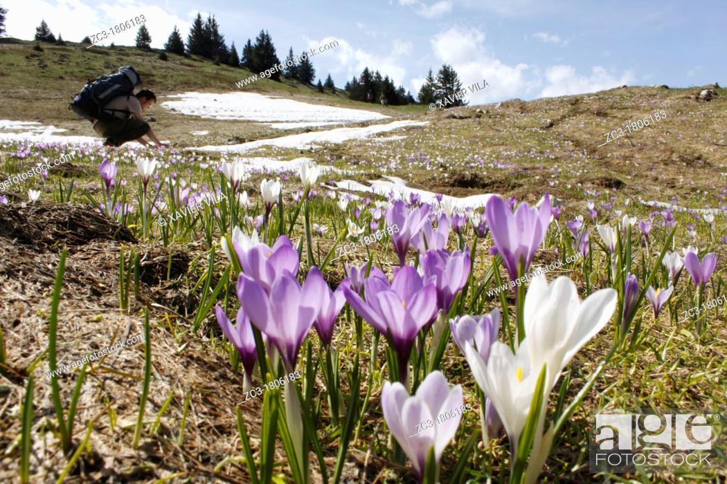 Stock Photo: Crocus in Chartreuse, Alps, Isère, Rhône-Alpes, France.