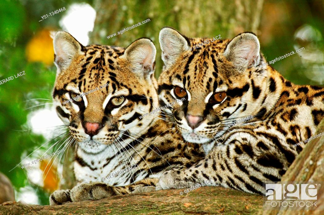 Stock Photo: OCELOT leopardus pardalis, PAIR OF ADULTS LAYING DOWN ON BRANCH.