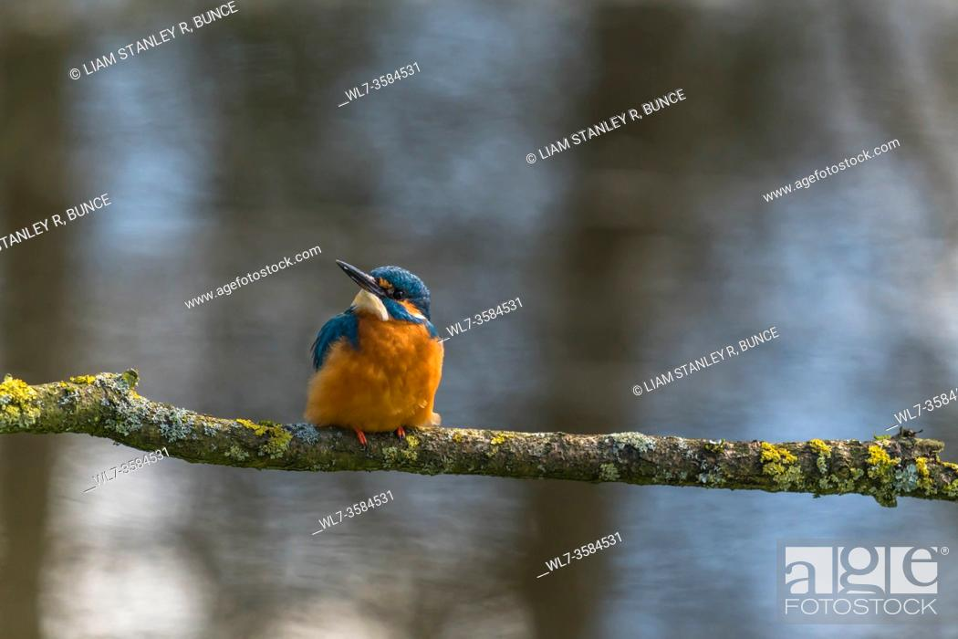 Stock Photo: Male Kingfisher (Alcedo atthis) perched on Lichen covered branch, Shropshire UK. March 2020.