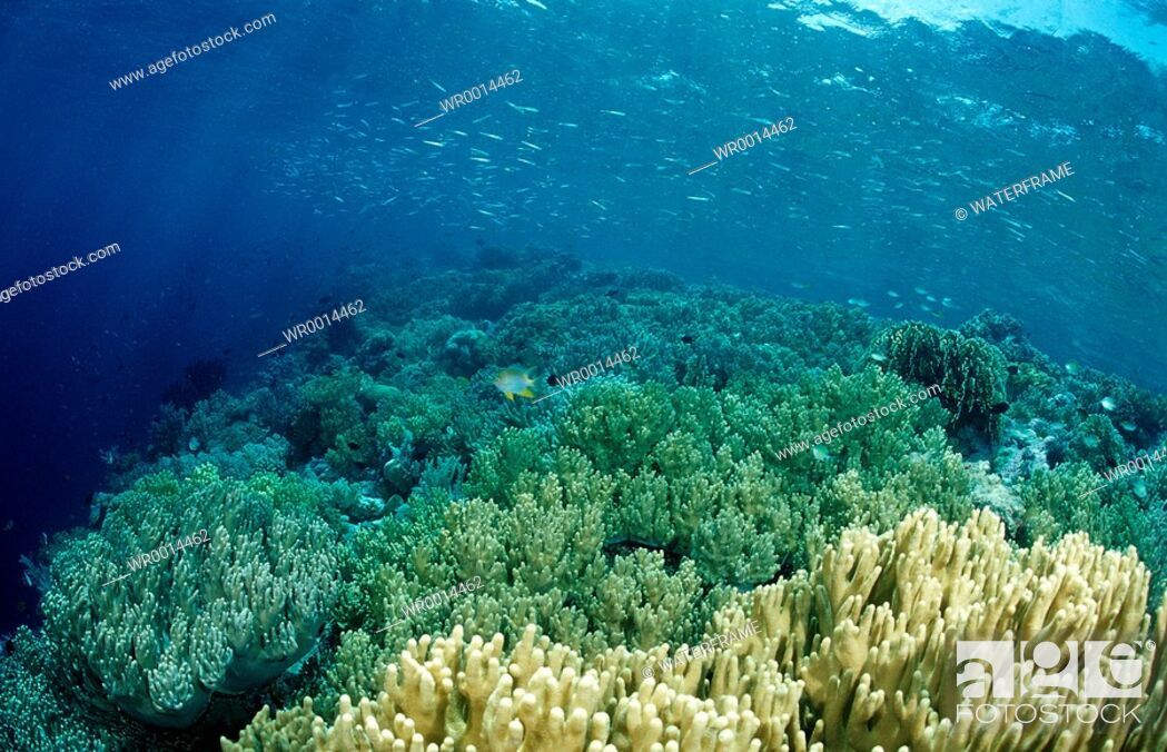 Stock Photo: Reeftop with Soft Corals, Sinularia sp., Komodo National Park, Indian Ocean, Indonesia.