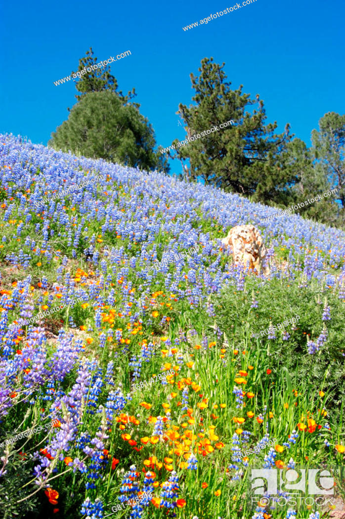 Stock Photo: California Poppies (Eschscholzia californica) and Lupine (Lupinus sparsiflorus) on hillside, Figueroa Mountain, Los Padres National Forest, California.