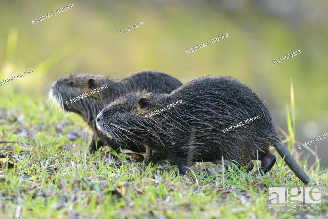 Stock Photo: Coypus on meadow, Germany, Europe.