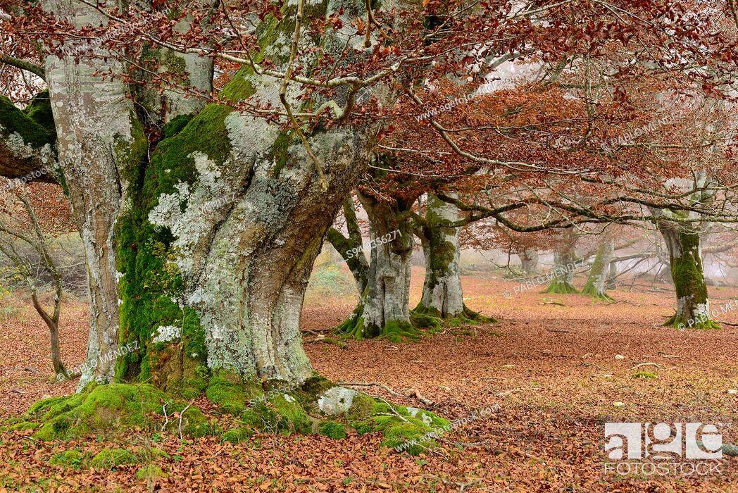 Imagen: Beech wood. Entzia natural park, near Andoin, Alava, Spain.