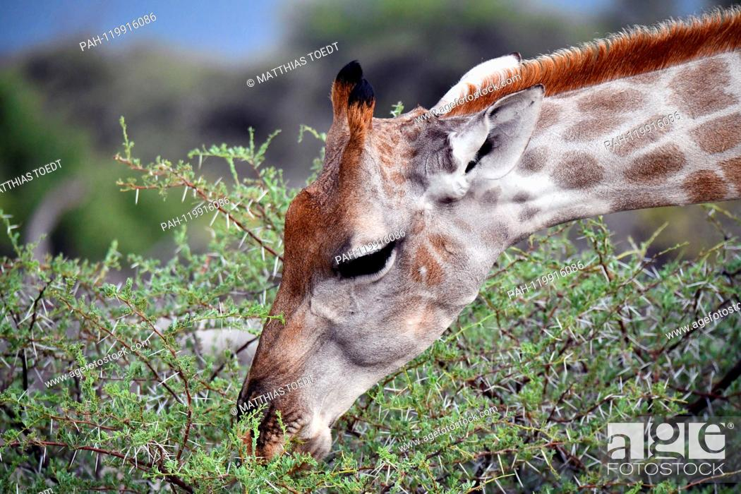 Imagen: Giraffe looking at an acacia in the Etosha National Park, taken on 05.03.2019. The Giraffe (giraffa) belongs to the pairhorses and with a weight of up to 1600.