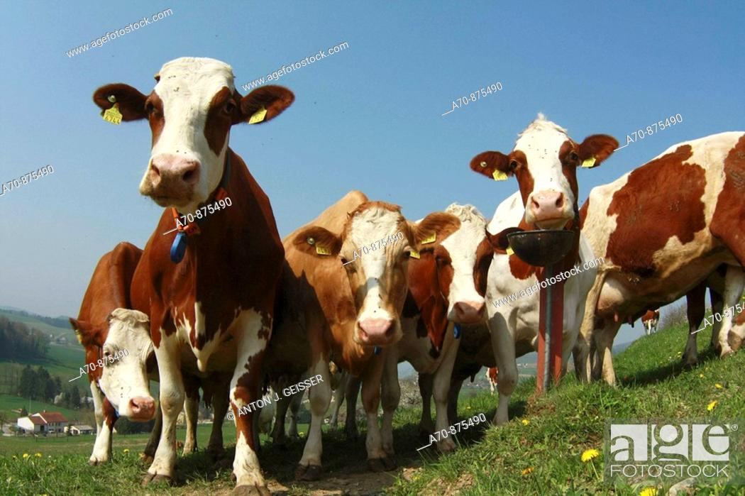 Stock Photo: Agriculture of cows on a pasture (talking Holstein).