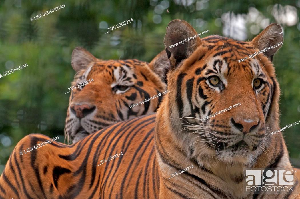 Imagen: Pair of Bengal Tigers- Panthera tigris tigris.