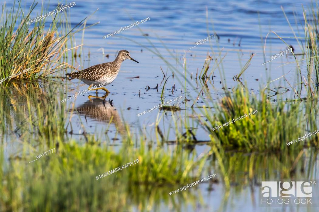 Stock Photo: A wood sandpiper is searching for fodder.