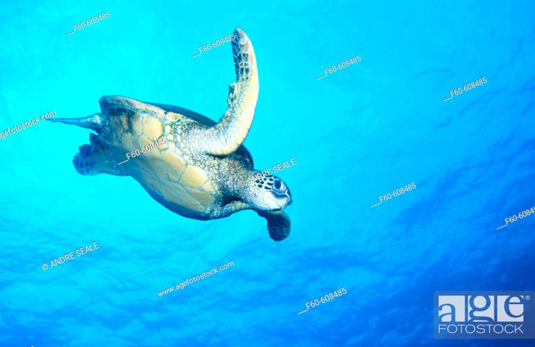 Stock Photo: Green Turtle (Chelonia mydas). Hawaii. USA.