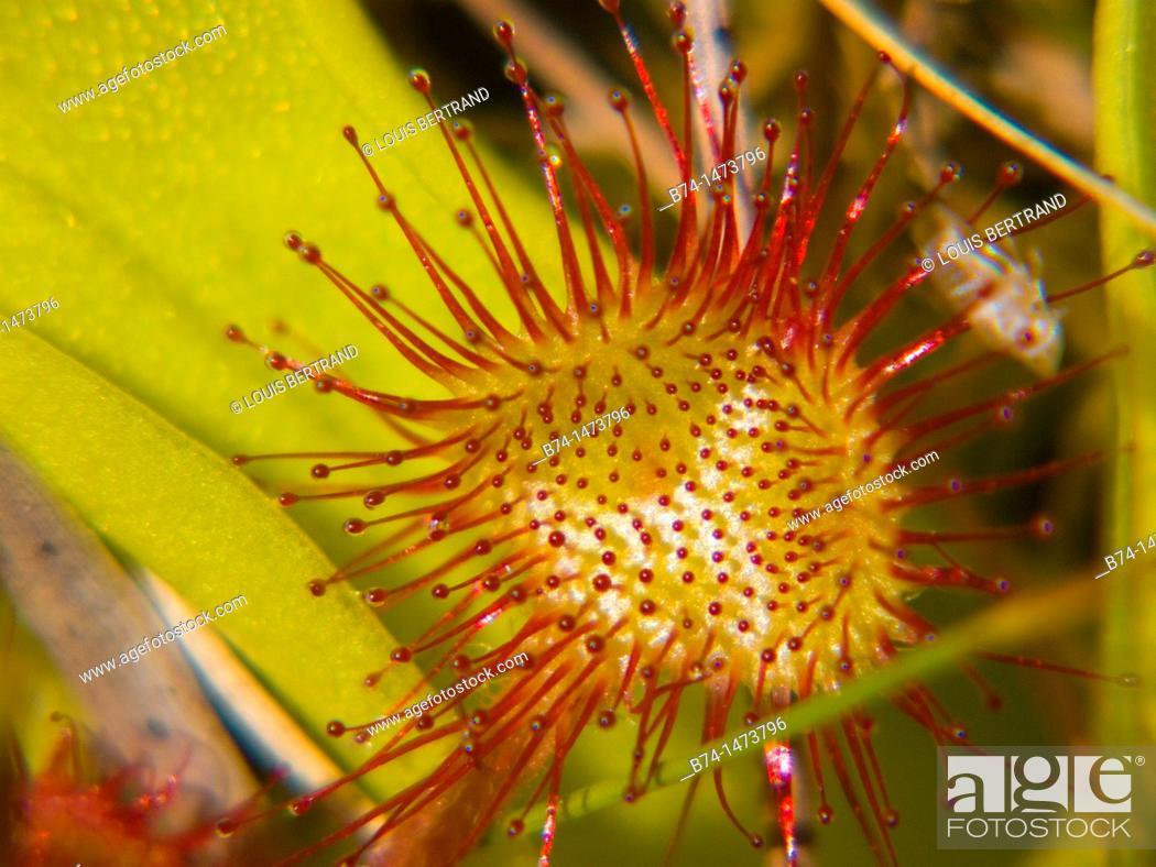 Stock Photo: drosera rotundifolia, loire, france.