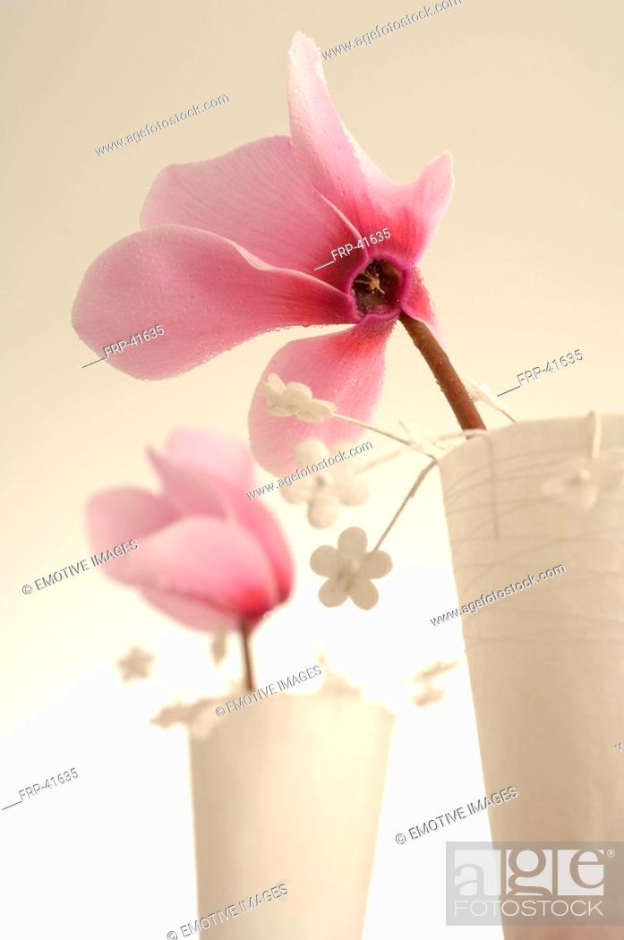 Stock Photo: Pink cyclamen in a table lantern.