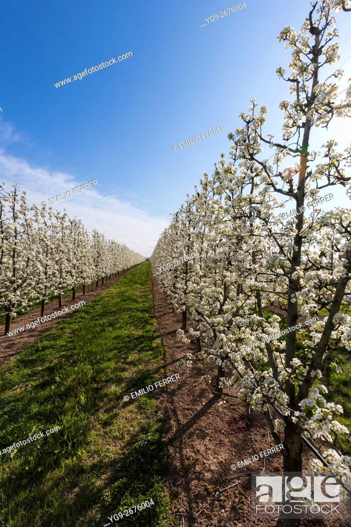Stock Photo: Field with pear tres in flower.