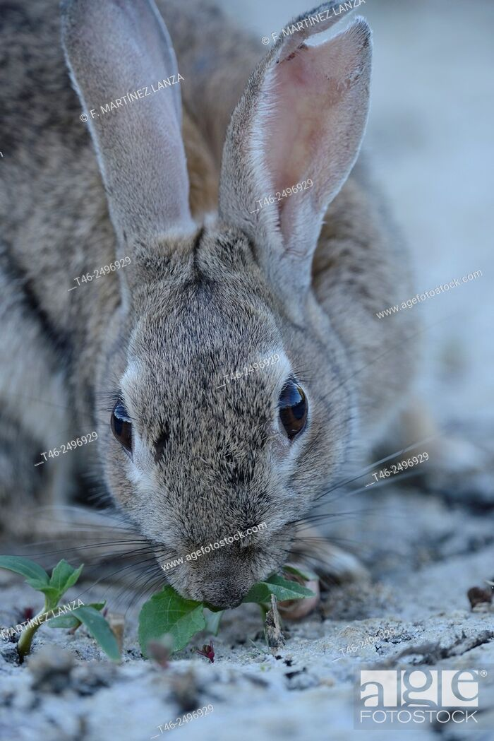 Stock Photo: Common Rabbit Oryctolagus cuniculus. Photographed at Polvoranca Park in Madrid.