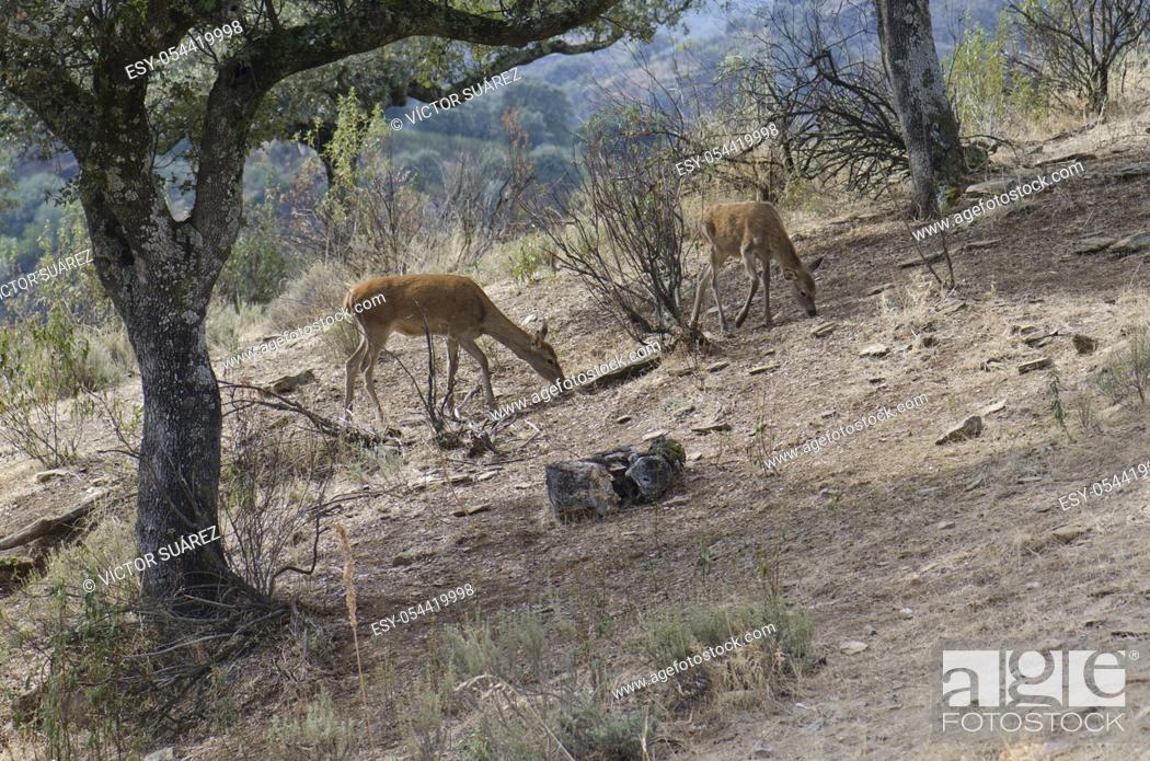 Stock Photo: Iberian red deers (Cervus elaphus hispanicus) searching for food. Female and its cub. Monfrague National Park. Caceres. Extremadura. Spain.