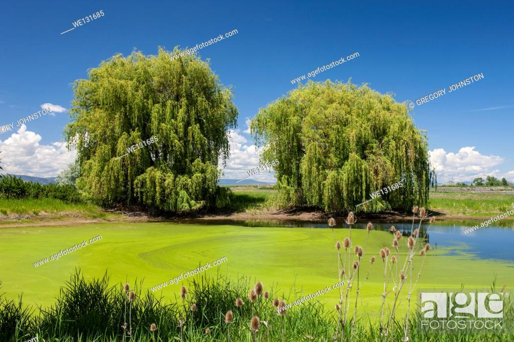 Stock Photo: Two trees by a swamp water area at the Ninepipes refuge near St. Ignatius, Montana.