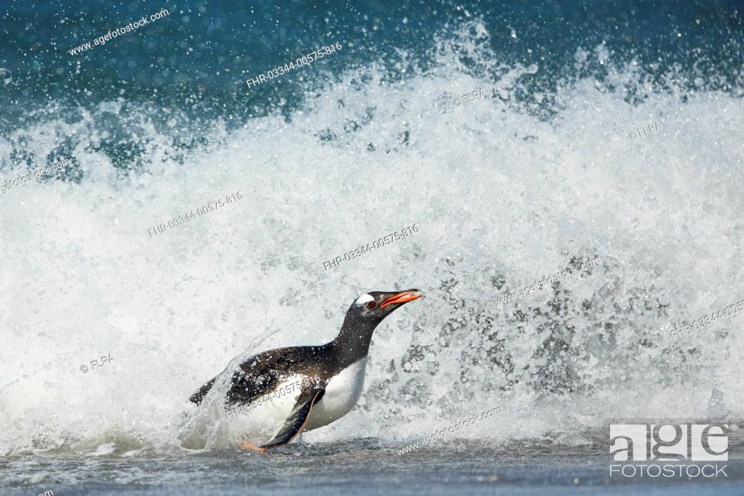 Imagen: Gentoo Penguin (Pygoscelis papua) adult, emerging from sea onto beach, Falkland Islands, December.