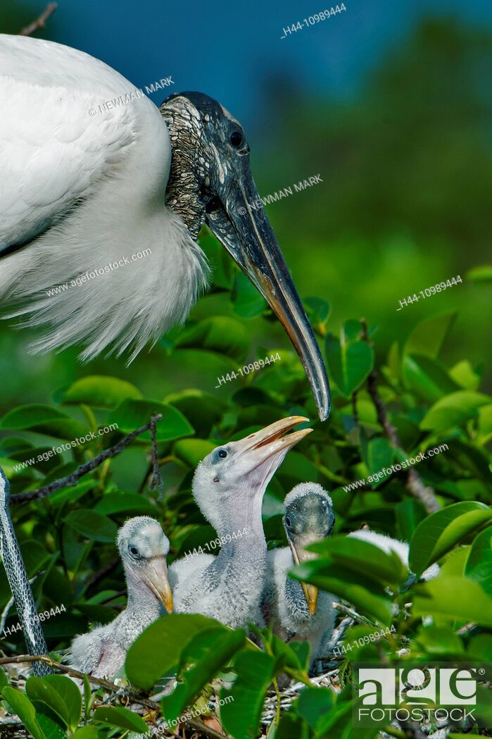 Stock Photo: wood stork, mycteria americana,.