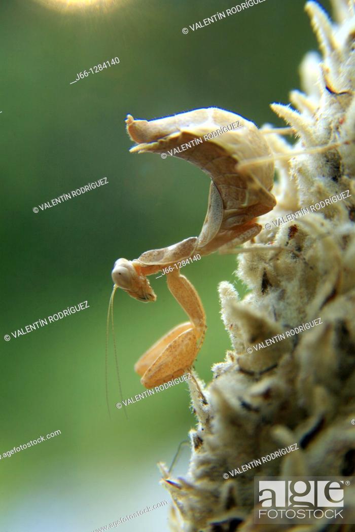 Stock Photo: Mantis religiosa Empusa pennata in the Sierra de Grazalema. Cádiz. Spain.