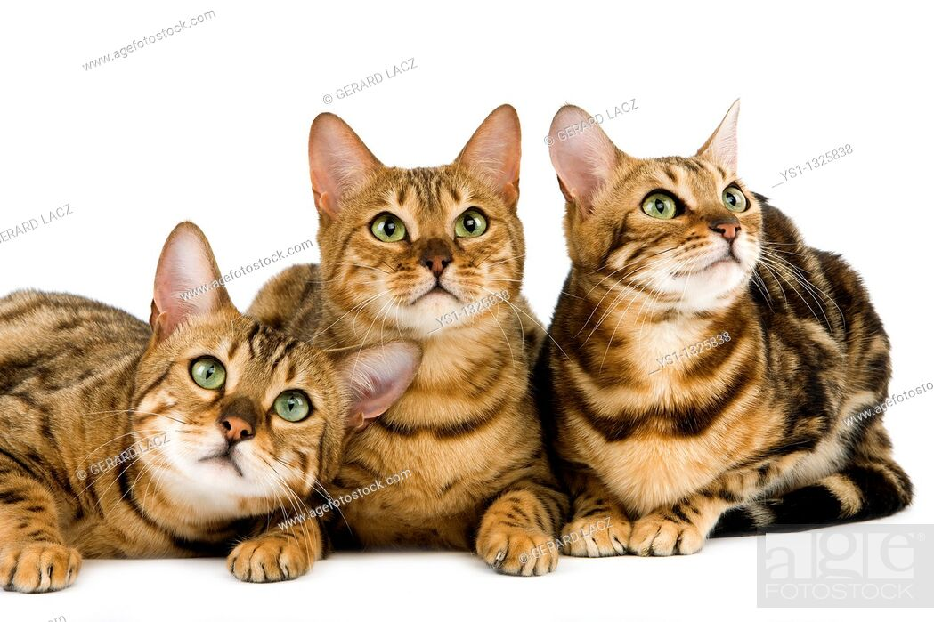 Stock Photo: BROWN SPOTTED TABBY WITH BROWN MARBLED TABBY BENGAL DOMESTIC CAT.