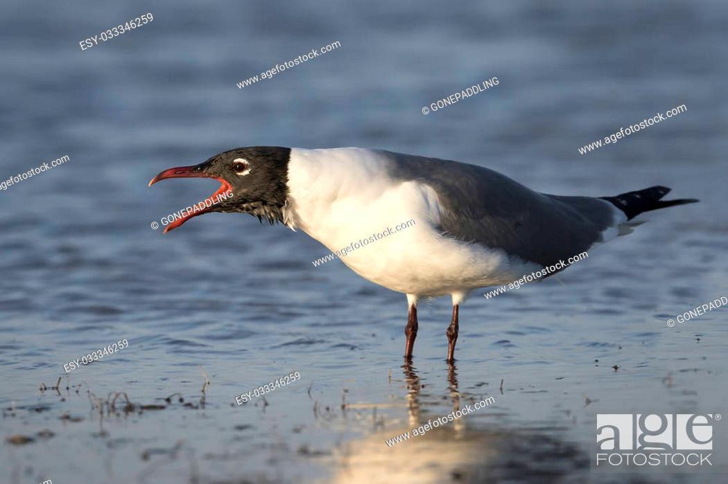 Stock Photo: Laughing Gull (Larus atricilla) Calling to Establish its Territory - St. Petersburg, Florida.