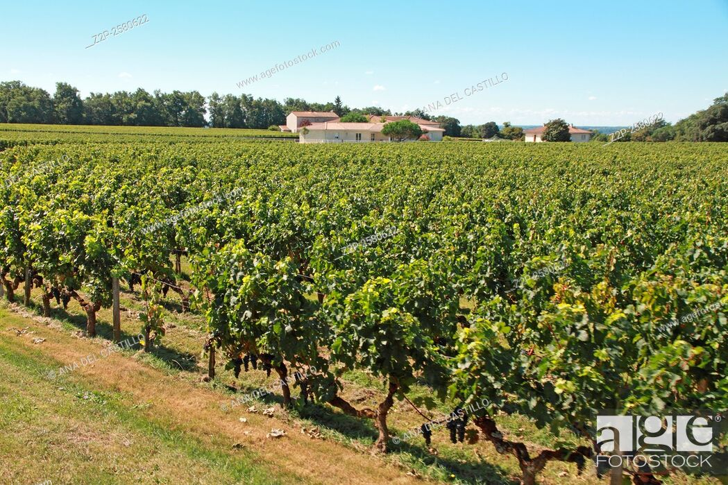 Stock Photo: Vineyard of famous Bordeaux Saint-Emilion wines cellars Aquitaine France.