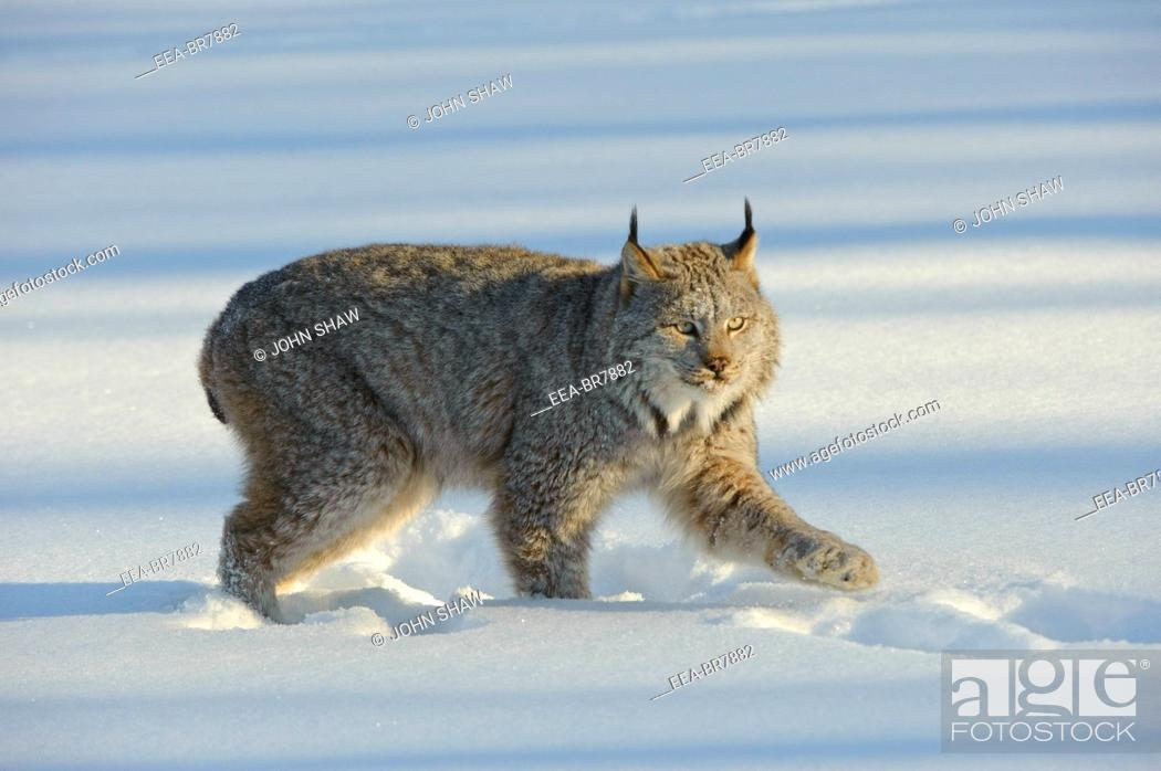 Stock Photo: Canadian Lynx Lynx canadensis walking through in thick winter snow in Minnesota.