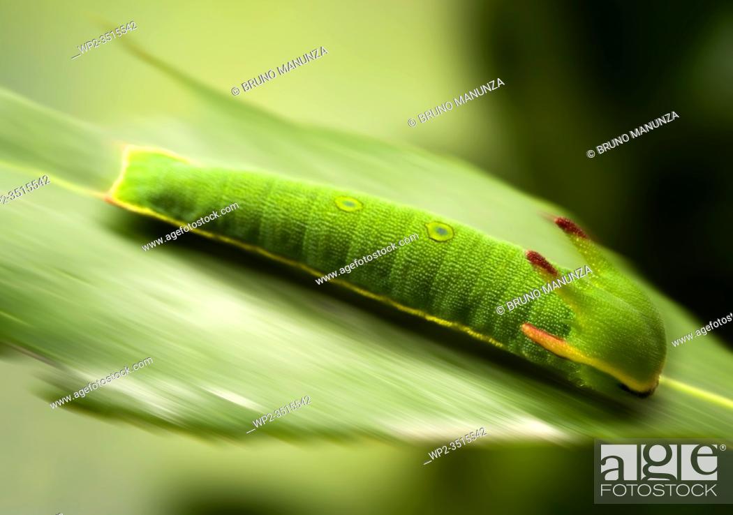Stock Photo: Caterpillar (Charaxes jasius), Sassari, SS, Sardegna, Italy.