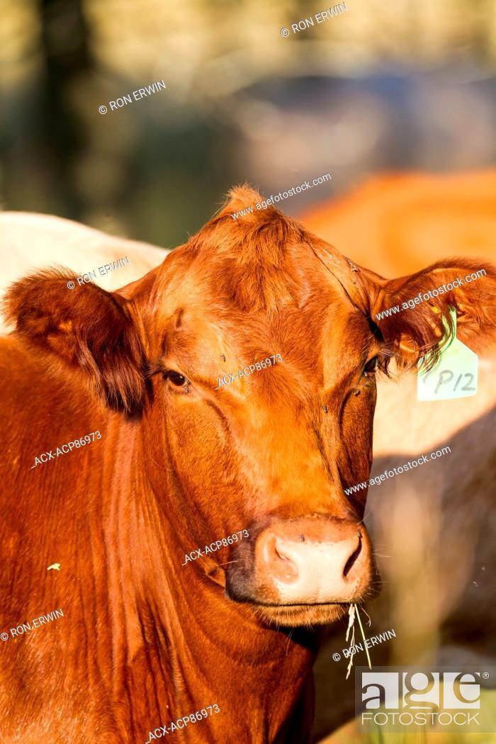 Stock Photo: Red Angus cross cow, Barrie Island, Ontario, Canada.