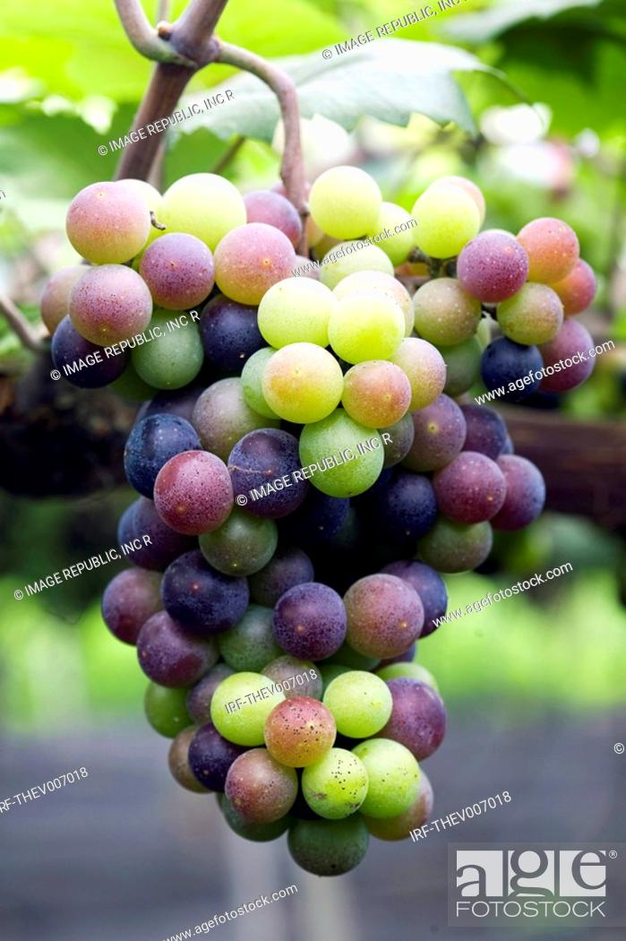 Stock Photo: grapes hung on the boughs.