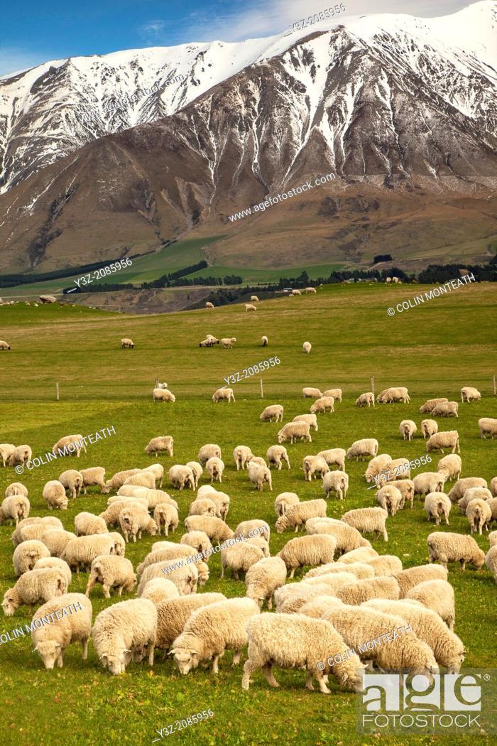 Stock Photo: Pregnant ewe sheep grazing, spring growth under Mt Hutt Range, Rakaia river valley, Canterbury.